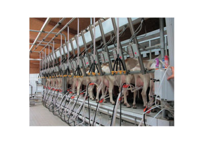 GOATS MILKING PARLOUR WITH ELECTRONIC DETACHER